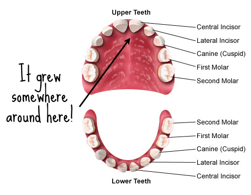 number 29 tooth - 499×387
